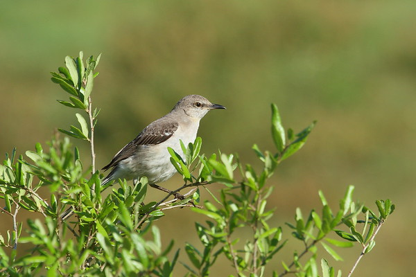 Northern Mockingbird Nominate subspecies Mimus polyglottos polyglottos Celery Fields, Sarasota, Florida 29 March 2017