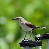 Tropical Mockingbird<br> <i>leucophaeus</i> subspecies<br> <i>Mimus gilvus leucophaeus</i><br> Lake Worth Beach Park, Lake Worth, Florida<br> 21 June 2017
