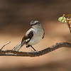 Northern Mockingbird<br> Nominate subspecies<br> <i>Mimus polyglottos polyglottos</i><br> Fort Zachary Taylor Historic State Park, Key West, Florida<br> 19 April 2017