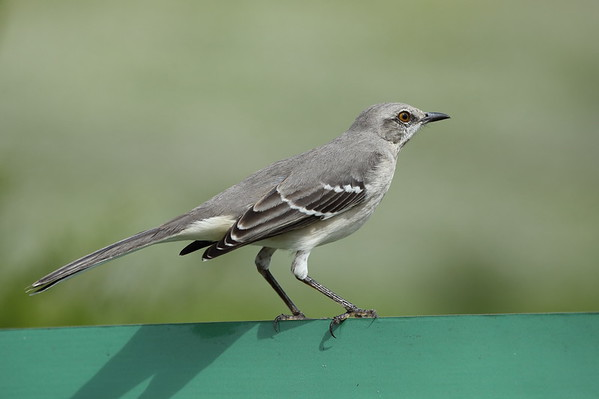 Northern Mockingbird Nominate subspecies Mimus polyglottos polyglottos Celery Fields, Sarasota, Florida 14 November 2019
