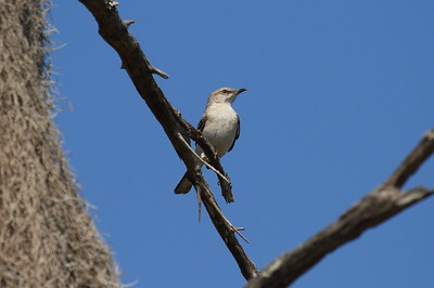 Northern Mockingbird Nominate subspecies Mimus polyglottos polyglottos Lake Wales Ridge State Forest, Avon Park, Florida 7 March 2017