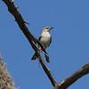 Northern Mockingbird<br> Nominate subspecies<br> <i>Mimus polyglottos polyglottos</i><br> Lake Wales Ridge State Forest, Avon Park, Florida<br> 7 March 2017