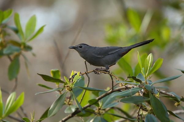 Grey Catbird Dumetella carolinensis Audubon Corkscrew Swamp Sanctuary, Naples, Florida 29 December 2020