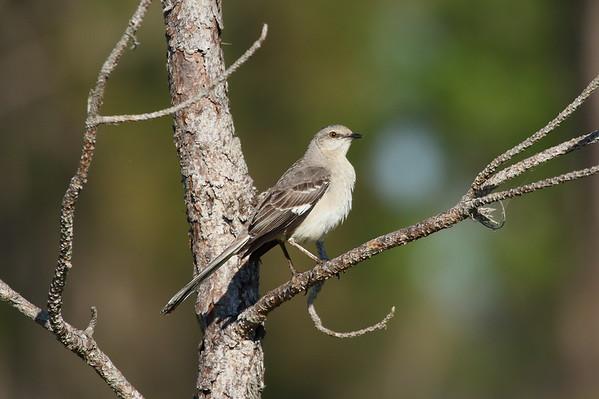 Northern Mockingbird Nominate subspecies Mimus polyglottos polyglottos Avon Park Air Force Range, Highlands County, Florida 7 May 2017
