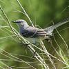 Northern Mockingbird<br> Nominate subspecies<br> <i>Mimus polyglottos polyglottos</i><br> Kissimmee River, Lorida, Florida<br> 20 September 2016