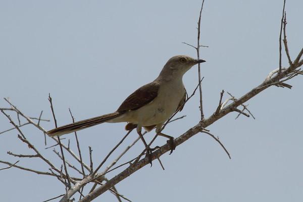 Tropical Mockingbird leucophaeus subspecies Mimus gilvus leucophaeus Lake Worth Beach Park, Lake Worth, Florida 21 June 2017