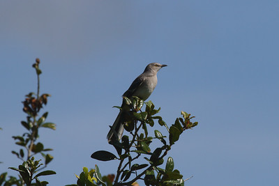Northern Mockingbird Nominate subspecies Mimus polyglottos polyglottos Kissimmee River, Lorida, Florida 20 September 2016