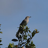 Northern Mockingbird<br> Nominate subspecies<br> <i>Mimus polyglottos polyglottos</i><br> Kissimmee River, Lorida, Florida<br> 20 September 2016