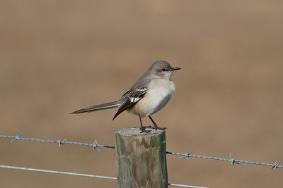 Northern Mockingbird Nominate subspecies Mimus polyglottos polyglottos Dade City, Florida 30 January 2018