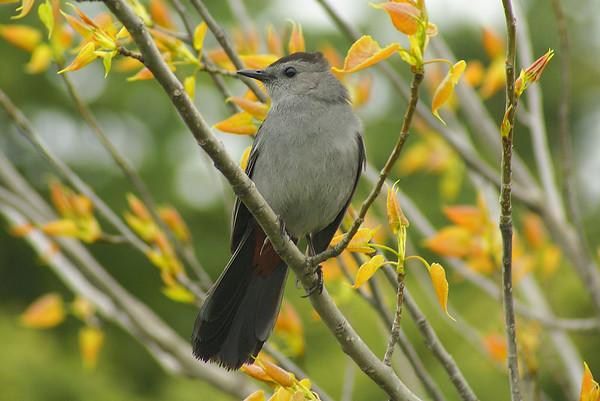 Grey Catbird Dumetella carolinensis Colonel Samuel Smith Park, Etobicoke, Ontario 18 May 2011