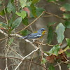 Northern Parula (male)<br> <i>Setophaga americana</i> Lake June-in-Winter Scrub State Park, Lake Placid, Florida<br> 21 February 2017