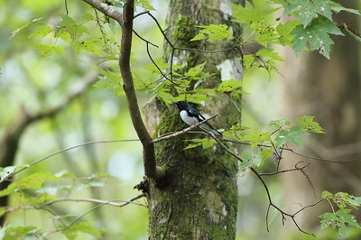 Black-throated Blue Warbler (male) Nominate subspecies Setophaga caerulescens caerulescens Cypress Swamp Trail, Highlands Hammock State Park, Sebring, Florida 06 October 2020