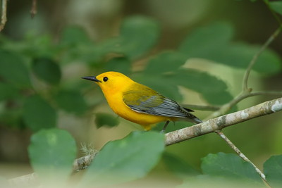 Prothonotary Warbler (male) Protonotaria citrea Lettuce Lake Park, Tampa, Florida 1 May 2018