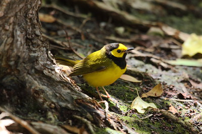 Hooded Warbler (male) Setophaga citrina Indigenous Park, Key West, Florida 19 April 2017