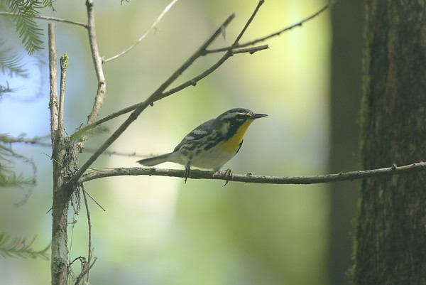 Yellow-throated Warbler Nominate subspecies Setophaga dominica dominica Cypress Swamp Trail, Highlands Hammock State Park, Sebring, Florida 31 August 2020