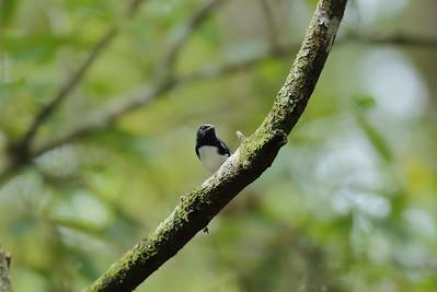 Black-throated Blue Warbler (male) Nominate subspecies Setophaga caerulescens caerulescens Cypress Swamp Trail, Highlands Hammock State Park, Sebring, Florida 06 October 2020