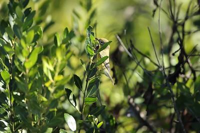 Magnolia Warbler Setophaga magnolia Carter Creek Tract, Lake Wales Ridge Wildlife & Environmental Area, Avon Park, Florida 03 November 2020
