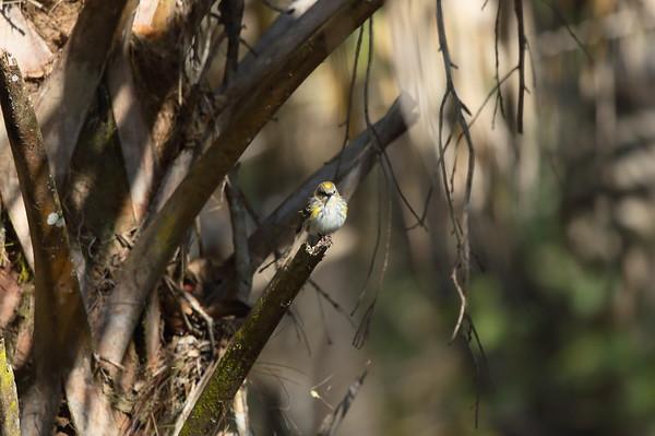 Audubon's Warbler Nominate subspecies Setophaga auduboni auduboni Cypress Swamp Trail, Highlands Hammock State Park, Sebring, Florida 02 February 2021
