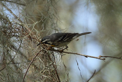 Yellow-throated Warbler Nominate subspecies Setophaga dominica dominica Circle B Bar Reserve, Lakeland, Florida 14 February 2016