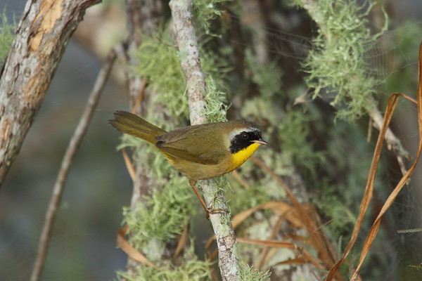 """Common Yellowthroat (male) """"Athens"""" subspecies Geothlypis trichas typhicola Circle B Bar Reserve, Lakeland, Florida 22 January 2018"""