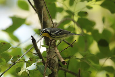 Yellow-throated Warbler Nominate subspecies Setophaga dominica dominica Cypress Swamp Trail, Highlands Hammock State Park, Sebring, Florida 06 October 2020