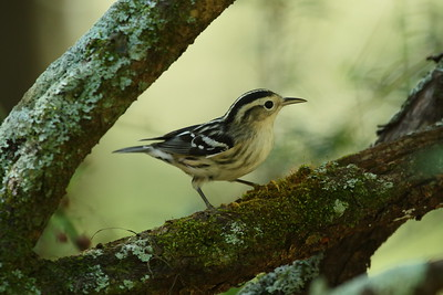 Black-and-white Warbler (female) Mniotilta varia Lettuce Lake Park, Tampa, Florida 16 October 2018