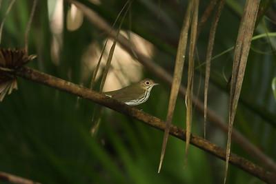 Ovenbird Nominate subspecies Seiurus aurocapilla aurocapilla Cypress Swamp Trail, Highlands Hammock State Park, Sebring, Florida 14 September 2021
