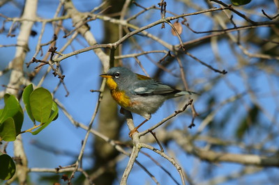Northern Parula (male) Setophaga americana Avon Park Air Force Range, Polk County, Florida 17 April 2018