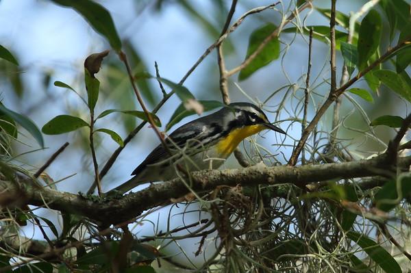 Yellow-throated Warbler Nominate subspecies Setophaga dominica dominica Lake Istokpoga Park, Sebring, Florida 24 August 2020