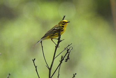 Prairie Warbler (male) Nominate subspecies Setophaga discolor discolor Francis Marion State Forest, Awendaw, South Carolina 16 May 2018