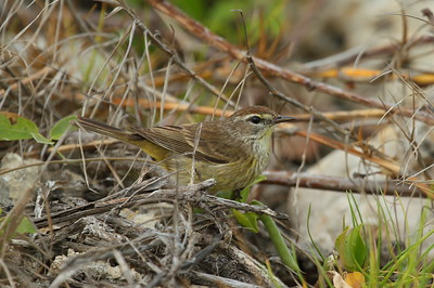 Palm Warbler Nominate subspecies Setophaga palmarum palmarum Bahia Honda State Park, Big Pine Key, Florida 17 April 2017