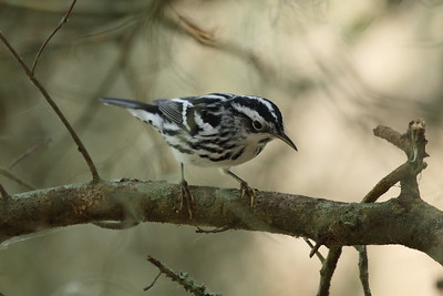 Black-and-white Warbler (male) Mniotilta varia Circle B Bar Reserve, Lakeland, Florida 14 February 2017