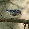 Black-and-white Warbler (male)<br> <i>Mniotilta varia</i><br> Circle B Bar Reserve, Lakeland, Florida<br> 14 February 2017