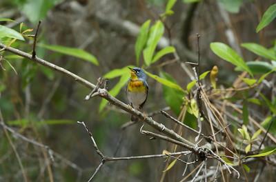 Northern Parula (male) Setophaga americana Chito Branch Preserve, Lithia, Florida 08 April 2021