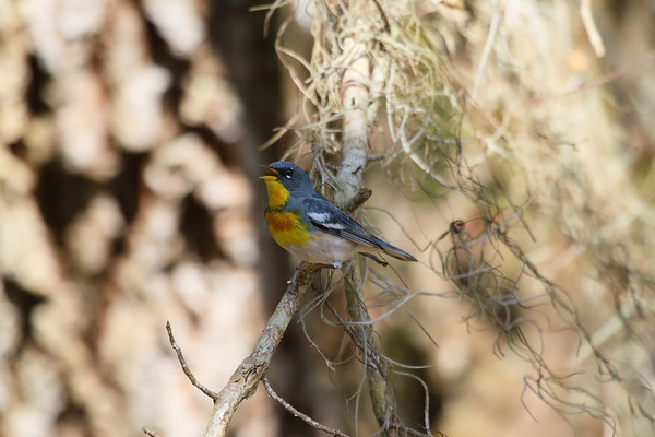 Northern Parula (male) Setophaga americana Hickory Hammock Wildlife Management Area, Lorida, Florida 4 May 2017