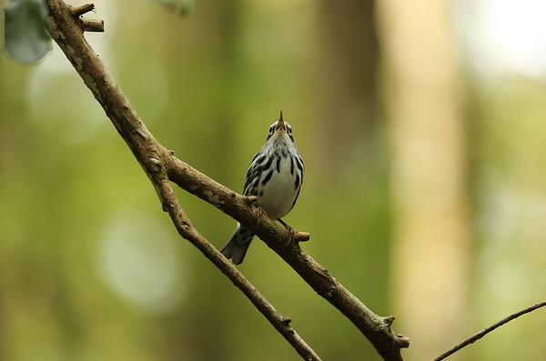 Black-and-white Warbler (male) Mniotilta varia Cypress Swamp Trail, Highlands Hammock State Park, Sebring, Florida 06 October 2020