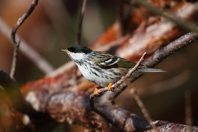 Blackpoll Warbler (male) Setophaga striata Fort Zachary Taylor Historic State Park, Key West, Florida 19 April 2017