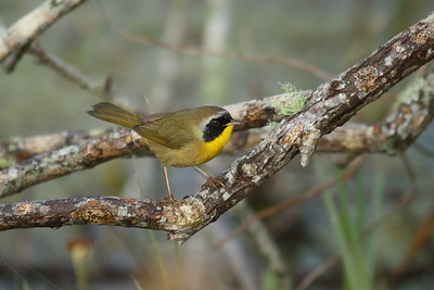 "Common Yellowthroat (male) ""Athens"" subspecies Geothlypis trichas typhicola Circle B Bar Reserve, Lakeland, Florida 22 January 2018"