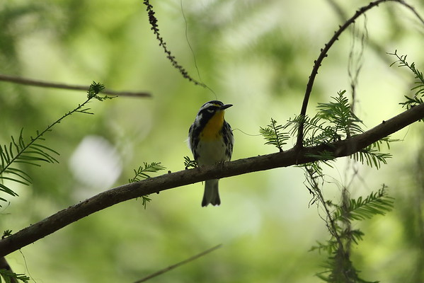 Yellow-throated Warbler Nominate subspecies Setophaga dominica dominica Lake Istokpoga Park, Sebring, Florida 24 August 2020