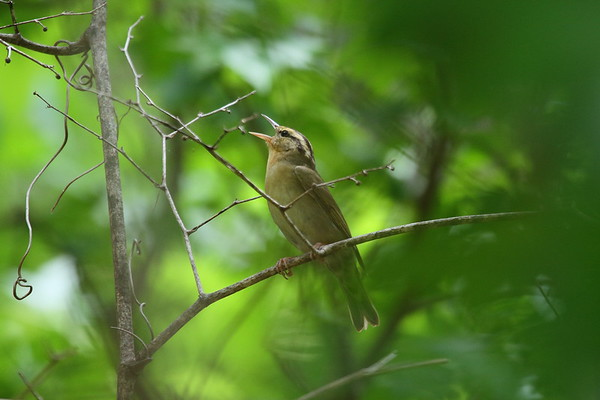 Worm-eating Warbler Helmitheros vermivorum Francis Marion State Forest, Awendaw, South Carolina 16 May 2018