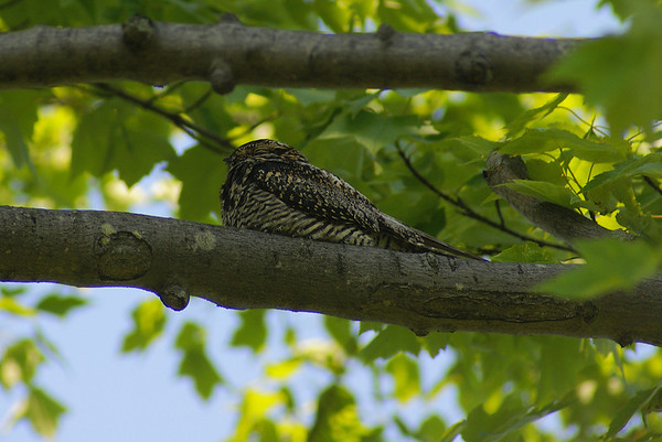 Common Nighthawk Nominate subspecies Chordeiles minor minor Carp Ridge, Dunrobin, Ontario 26 May 2012