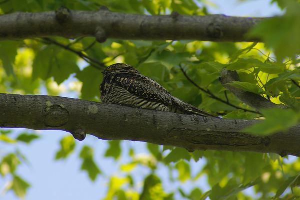 Common Nighthawk Nominate subspecies Chordeiles minor minor Carp Ridge, Dunrobin, Ontario 26 May 2012
