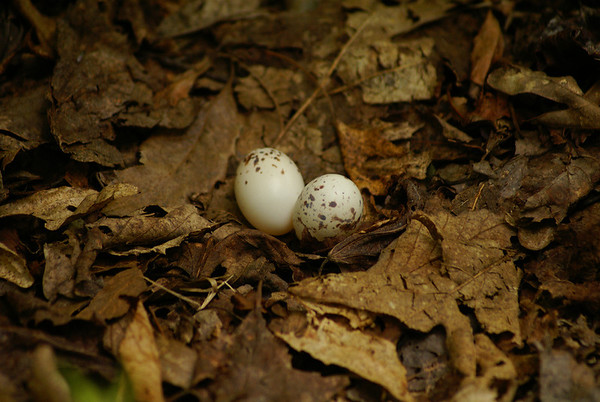 Eastern Whip-poor-will Nest Blue Heron Lake, Porter Township, Pennsylvania 16 June 2012