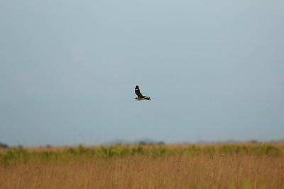 "Common Nighthawk ""Florida"" subspecies Chordeiles minor chapmani Kissimmee Prairie Preserve, Okeechobee, Florida 21 June 2020"