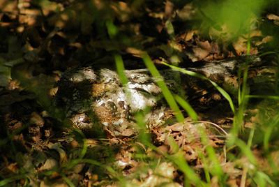 Eastern Whip-poor-will (female) Antrostomus vociferus Blue Heron Lake, Porter Township, Pennsylvania 28 June 2012