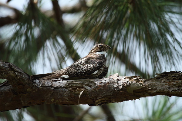 "Common Nighthawk ""Florida"" subspecies Chordeiles minor chapmani Avon Park Air Force Range, Polk County, Florida 7 July 2018"