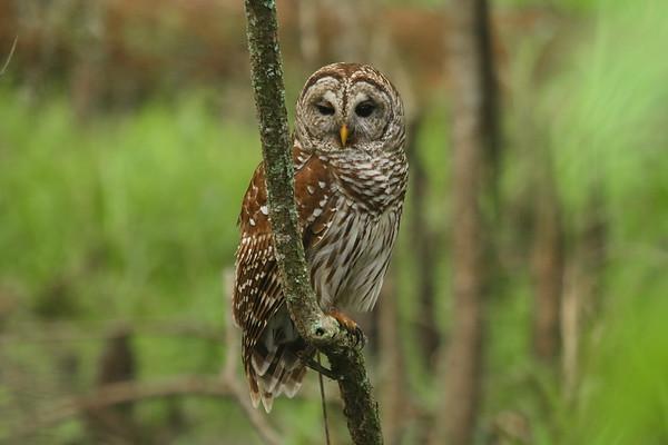 Barred Owl Strix varia Lettuce Lake Park, Tampa, Florida 28 February 2017
