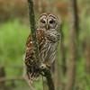 Barred Owl<br> <i>Strix varia</i><br> Lettuce Lake Park, Tampa, Florida<br> 28 February 2017