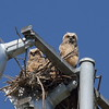 Great Horned Owl (owlets)<br> Nominate subspecies<br> <i>Bubo virginianus virginianus</i><br> Lake Parker, Lakeland, Florida<br> 15 March 2017