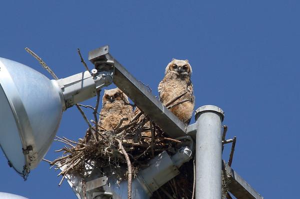 Great Horned Owl (owlets) Nominate subspecies Bubo virginianus virginianus Lake Parker, Lakeland, Florida 15 March 2017